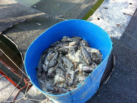 지난해 8월 충남 서해안 천수만에서 바닷물 온도가 최고 30도를 웃돌면서 가두리 양식장 물고기가 폐사했다. [중앙포토]