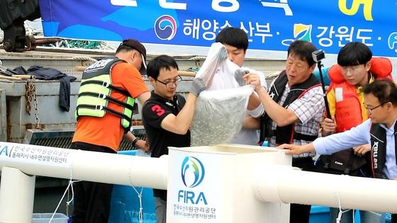 한해성 수산자원센터 직원들이 고성군 앞바다에서 어린 명태를 방류하는 모습. 박진호 기자