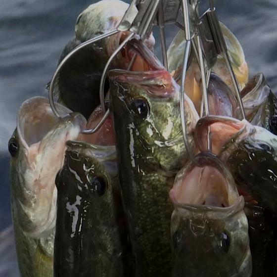 생태계 교란종인 유해 물고기 배스. [중앙포토]