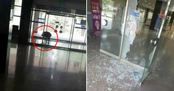 지난달 31일 오전 8시44분쯤 중앙대학교 안성캠퍼스에 멧돼지 한 마리가 출몰해 유리문을 파손하고 사라졌다. [사진 SNS 캡처]