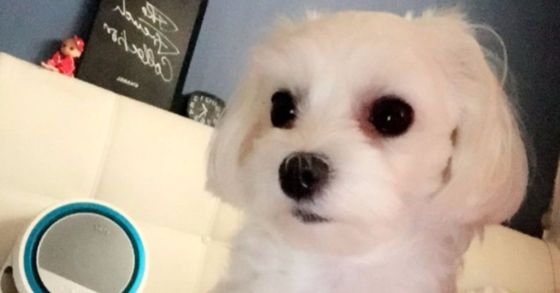 보호 목적에 맡겼다가 병원측 실수로 안락사된 4살 말티즈 '별이' [사진 A씨 인스타그램]