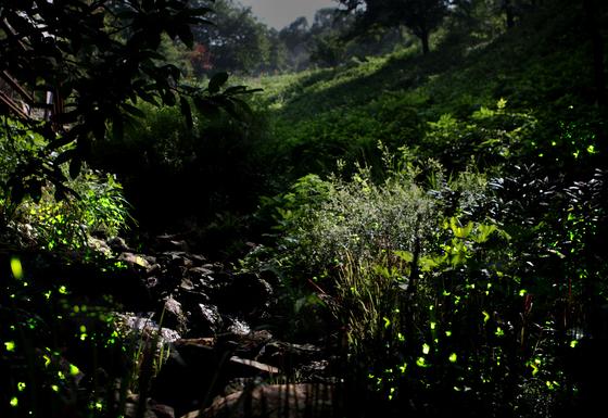 개똥벌레라는 애칭으로 불리는 반딧불이는 여름밤 빛을 내며 날아다닌다. 6월 중하순 경기도 광주 곤지암화담숲을 야간에 방문하면반딧불이 불빛을 볼 수 있다. [사진 곤지암화담숲]