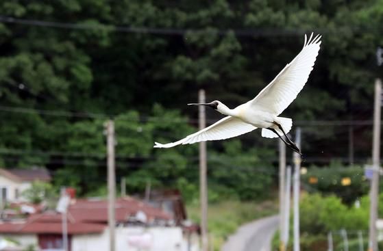 6일 강화도에서 진행된 세계자연기금(WWF) 탐조 프로그램에서 만난 저어새가 멋지게 비행하고 있다.강정현 기자