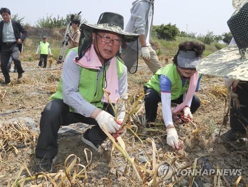 김부겸 행정자치부 장관이 17일 오전 충북 진천군 진천읍 한 마늘밭을 찾아 수확을 돕고 있다. [사진 연합뉴스]