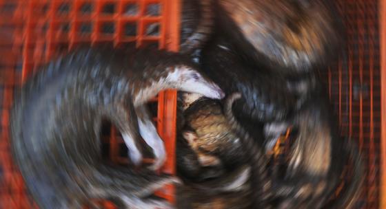 13일 인도네시아 북수마트라 주 벨라완 항에서 밀수 중 적발된 천산갑들의 사체. 인도네시아 당국은 225마리의 천산갑을 발견했으나, 이중 절반 가량은 스트레스로 폐사한 상태였다. [AFP=연합뉴스]