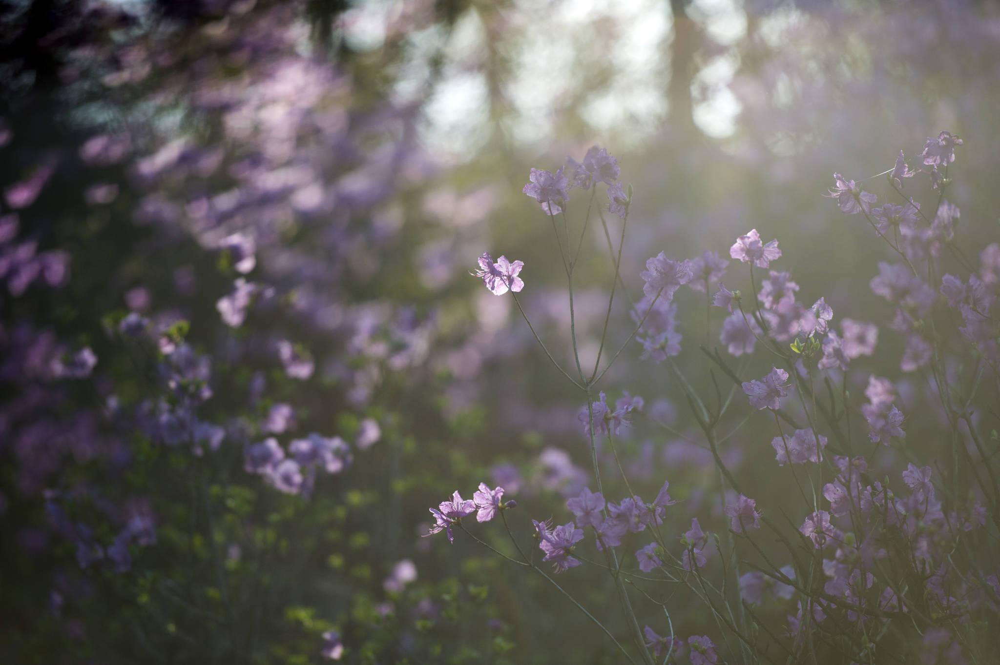 인천 강화도 고려산 기슭에 핀 진달래 꽃밭이 그늘 너머 빛을 머금고 있다. 김현동 기자