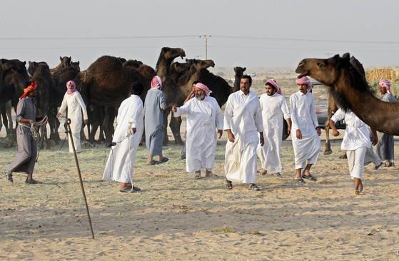 사우디에서 추방된 카타르인 소유 낙타들이 국경을 넘어 주인과 만나고 있다. [로이터=연합뉴스]