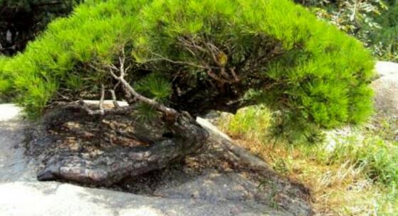 용틀임 형태의 아차산 소나무. [사진 서울 광진경찰서]