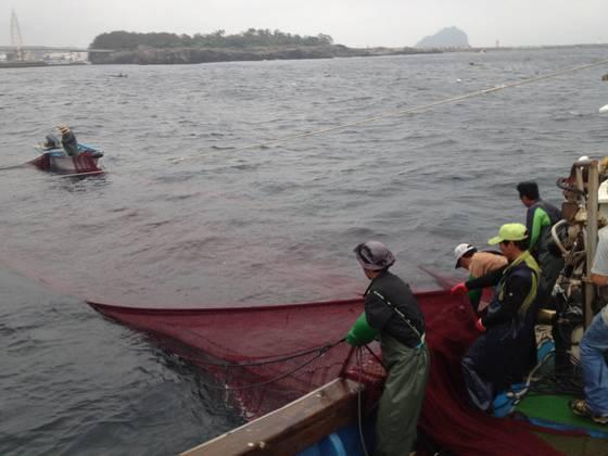 자리돔은 어선 2척을 이용해 바닷속에 쳐놓은 그물을 들어 올려 잡는 '들망' 어법으로 떠내듯이 잡는다.6~7월이 제철이다. 사진은 서귀포시 보목동 바다에서 어민들이 자리돔을 잡고 있는 모습. [최충일 기자]