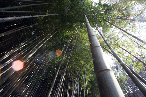 한국에서 볼 수 있는 대나무 중 가장 굵은 맹종죽. 거제 맹종죽테마파크에 많다. [중앙포토]