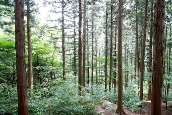 장성 축령산에 빽빽이 심어진 편백과 삼나무.이곳을 처음 찾는 방문객들은 나무 사이에서 긿을 잃기도 한다. 프리랜서 장정필