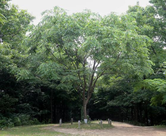 장성 축령산 편백 치유의 숲에는 이 숲을 처음 조성한 춘원 임종국 선생의 유해가 수목장 돼 있다. 임 선생의 유골이 담긴 함이 묻힌 땅 위에 심어진 느티나무.프리랜서 장정필