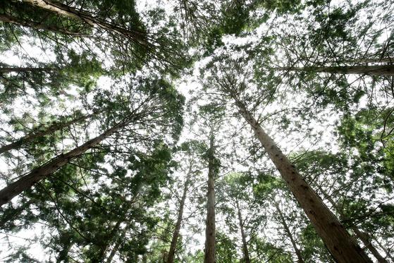 전남 장성군 축령산 치유의 숲에는 편백과 삼나무ㆍ낙역송 등이 373㏊ 면적에 빽빽이 심어져 있다.프리랜서 장정필
