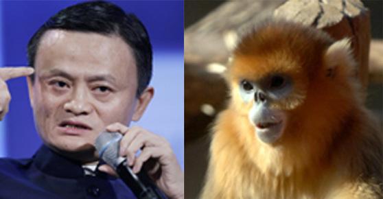 손오공 관상으로 평가받는 마윈(馬雲)알리바바 회장(왼쪽)과 손오공의 모델인 황금 원숭이(오른쪽)