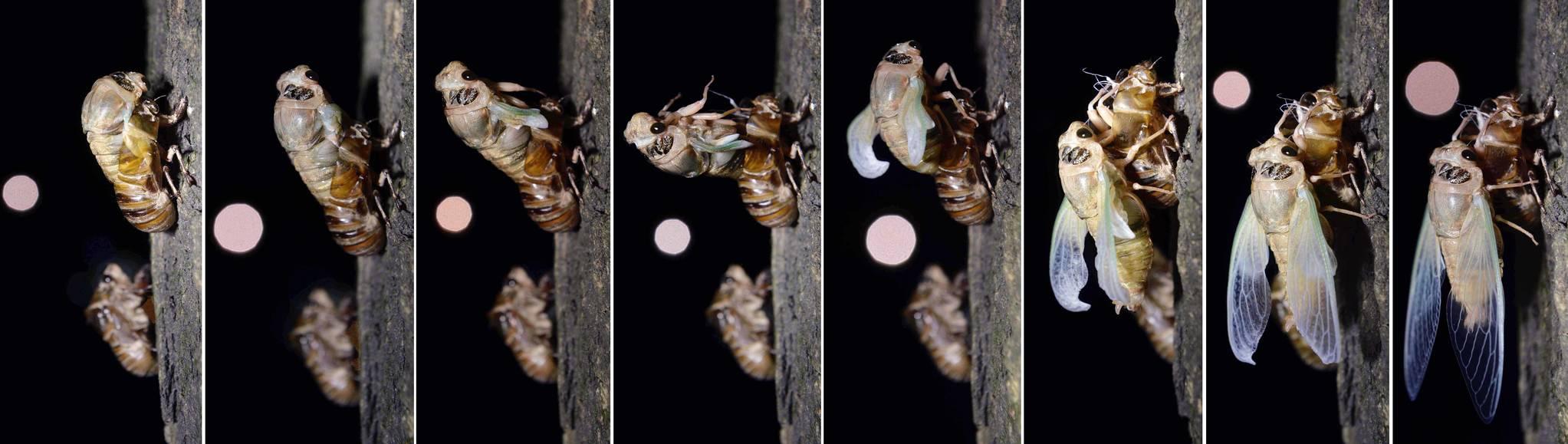 아까시나무에 매달린 매미 유충이 우화(羽化)하면서 매미 성충이 나오고 있다. 프리랜서 김성태