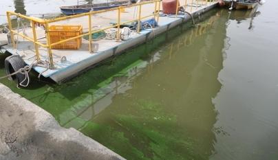 지난 28일 지속되는 폭염과 가뭄 등으로 한강 하류에 녹조가 발생하고 있다.[연합뉴스]