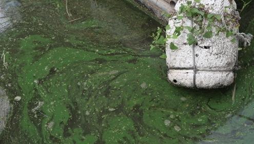 지난 28일 지속되는 폭염과 가뭄 등으로 한강 하류에 녹조가 발생하고 있다. [연합뉴스]