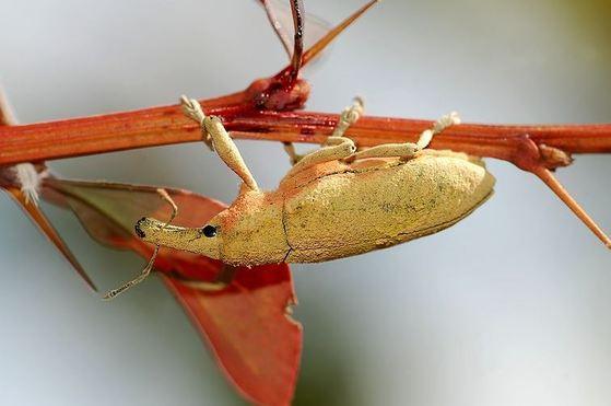 남미와 남아프리카에 서식하는 곤충 지지바. 위키피디아 캡처