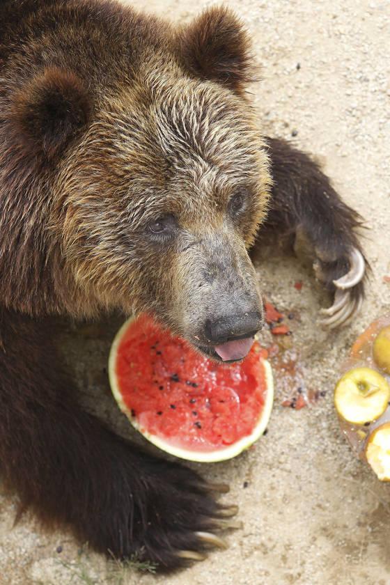 대구 달성공원 불곰이 사육사가 여름철 특식으로 준비한 수박과 얼음과자를 받아 이리저리 굴리며 먹고 있다. 얼음과자 속에는 사과ㆍ닭고기ㆍ당근 등이 들어있다. 프리랜서 공정식