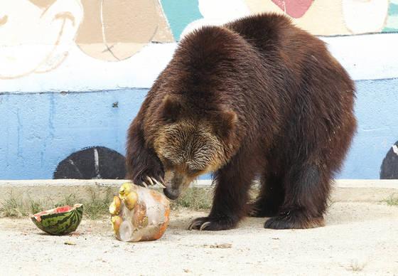 대구 달성공원 불곰이 사육사가 여름철 특식으로 준비한 얼음과자와 수박을 받아 이리저리 굴리며 먹고 있다. 프리랜서 공정식