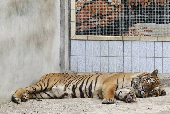 별다른 피서법이 없는 대구 달성공원 벵갈호랑이는 그늘에 누워 쉬거나 낮잠을 자며 여름을 보낸다. 수조에 몸을 담근 채 잠을 청하기도 한다. 프리랜서 공정식