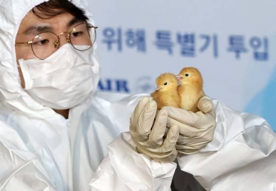 농림축산검역본부 직원이 수입 병아리를살피고 있다 . 김상선 기자