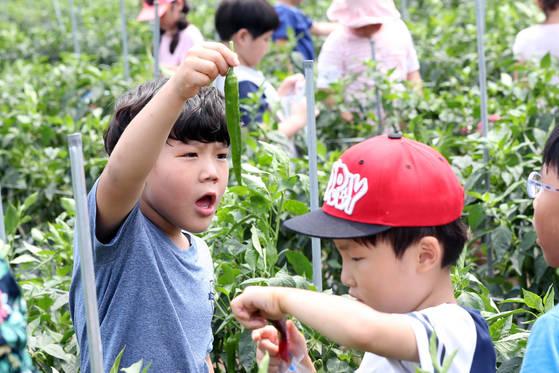별망초등학교 학생들이 12일 학일마을에서 고추따기 체험을 하고 있다. 김경록 기자