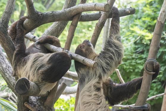 나무 위에서 놀고 있는 나무늘보들. [사진 에버랜드]