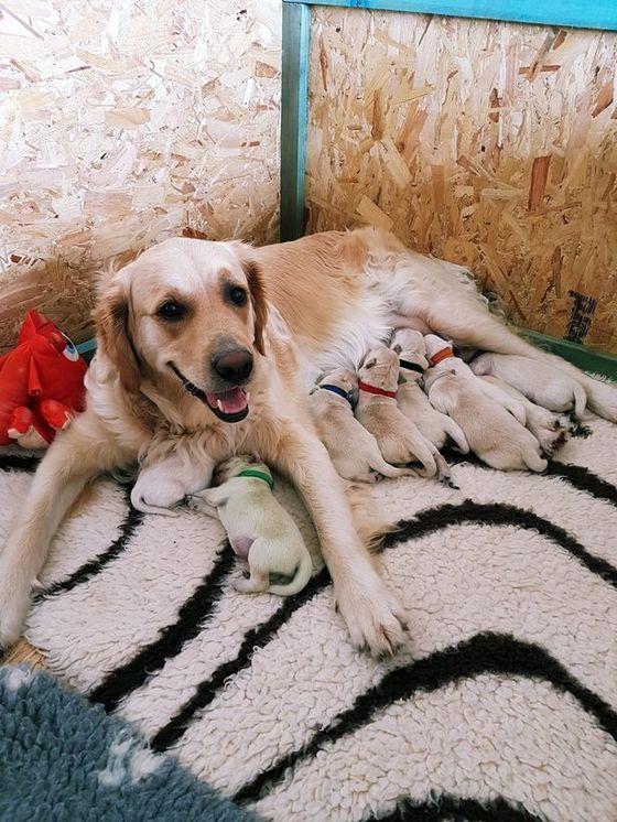 세 살 먹은 골든 리트리버인 리오(Rio)는 지난주 아홉 마리의 강아지를 낳았다[사진 CASCADE NEWS]