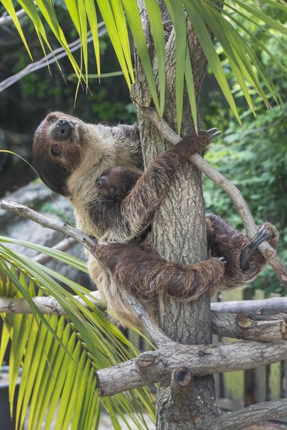 암컷 나무늘보 땡이가 올초에 낳은 넷째를 안고 있다.[사진 에버랜드]