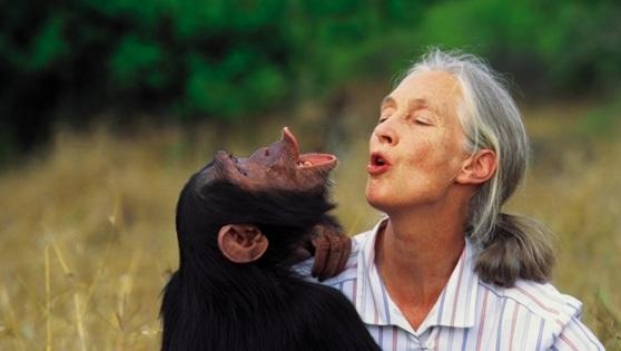 세계적 동물학자이자 환경운동가인 제인 구달 박사가 침팬지와 교감하고 있다. [사진 국립생태원]
