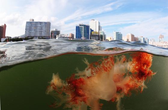 해운대 해수욕장에 나타난 대형 노무라입깃해파리 [중앙포토]
