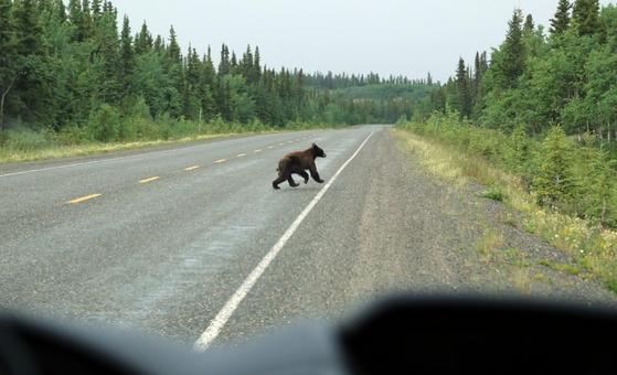 도로에 갑자기 나타난 곰.