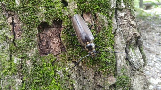 최근 광릉숲에서 발견된 장수하늘소 암컷. 천연기념물 제218호이자 멸종위기야생생물 1급 곤충으로 광릉숲의 상징물이기도 하다.[사진 국립수목원]
