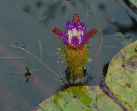 국립수목원 가시연꽃.[사진 국립수목원]