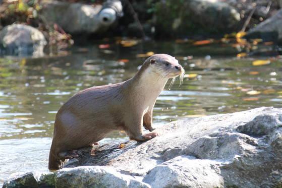 멸종위기 야생생물 I급이자 천연기념물인 수달. 전국토의 63% 지역에서 살아가고 있는 것으로 확인됐다. [사진 국립생물자원관]