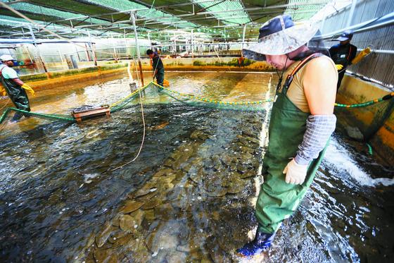 지난 9일 고수온 주의보가 발령된 부산시 기장군에서 양식물고기가 떼죽음당하는 사례가 속출하자 넙치를 기르는 어민이 물고기 상태를 살피고 있다. [연합뉴스]
