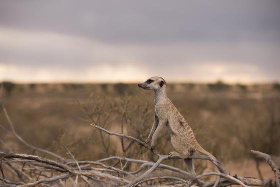 아프리카 칼라하리 사막의 미어캣. 집단 생활을 하는 미어캣은 소수가 망을 보고 나머지는 먹이 습득에 주력한다. [사진 취리히대]