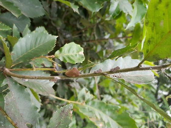 갈색날개매미충(왼쪽)과 미국선녀벌레 [사진 경기도]