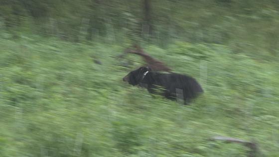 수도산에 방사된 반달가슴곰 KM53이 산속으로 뛰어가고 있다. [사진 국립공원관리공단]