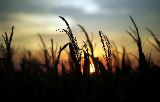 지난 4월 9일, 아르헨티나 라파엘라 지방의 한 옥수수 농장. [로이터=연합뉴스]