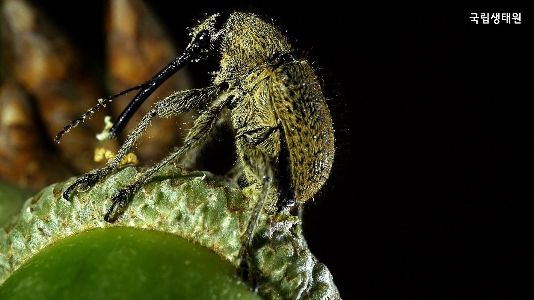 도토리에 구멍을 내고 있는 도토리거위벌레 암컷. [사진 국립생태원]