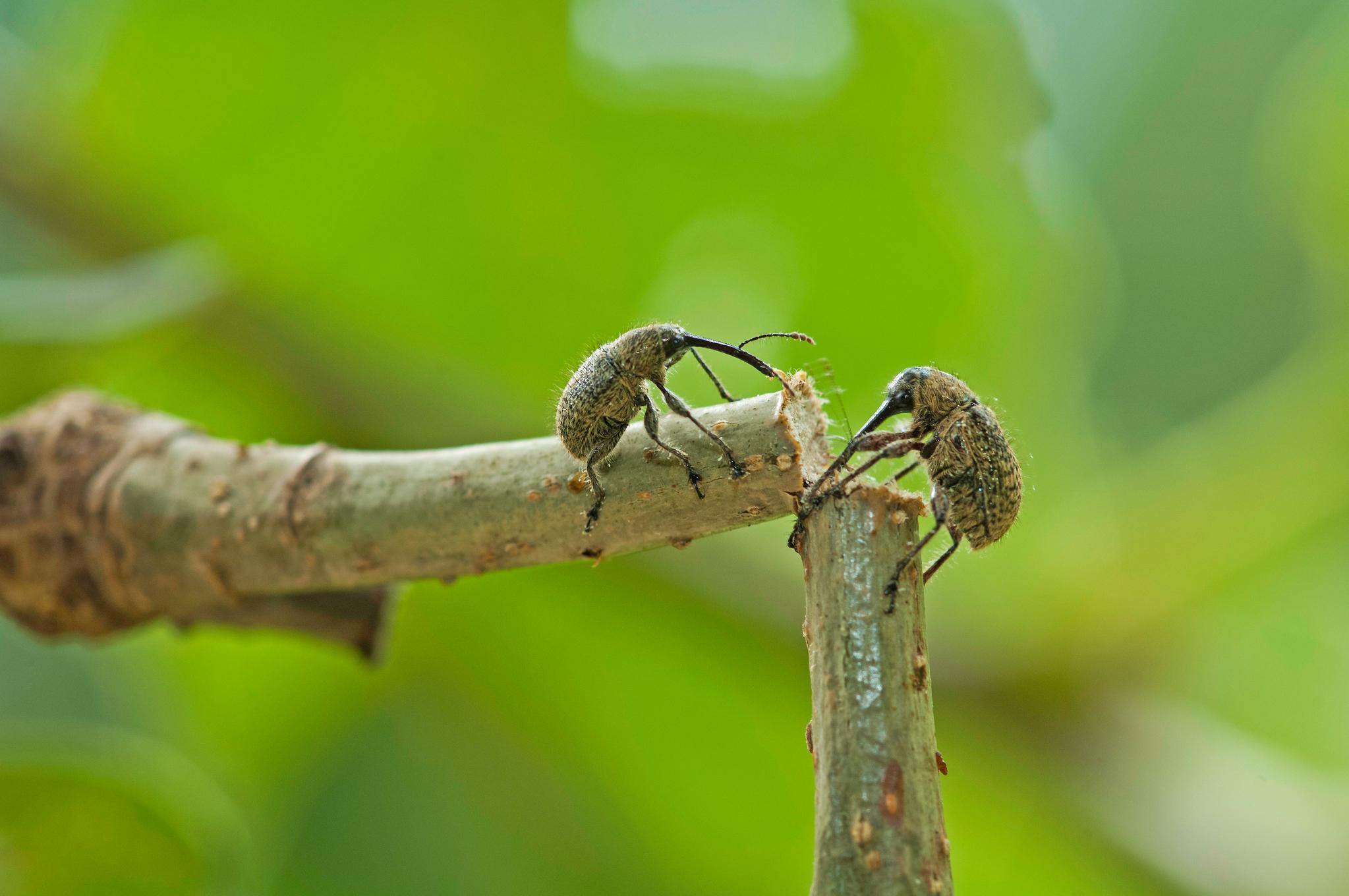 도토리거위벌레. [사진 BRIC]