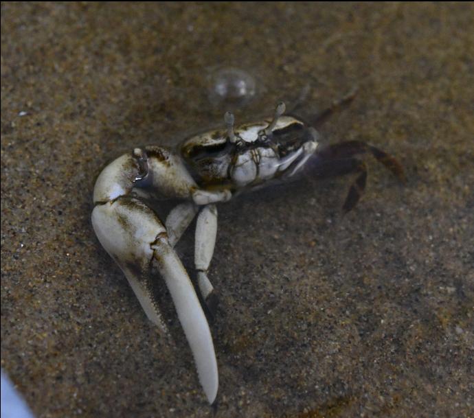 보호대상해양생물로 지정된 흰발농게. [사진 해양수산부]