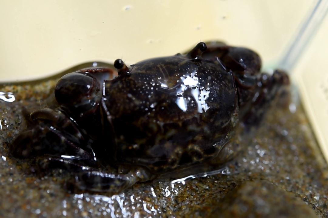 보호대상해양생물로 지정된 남방방게. [사진 해양수산부]