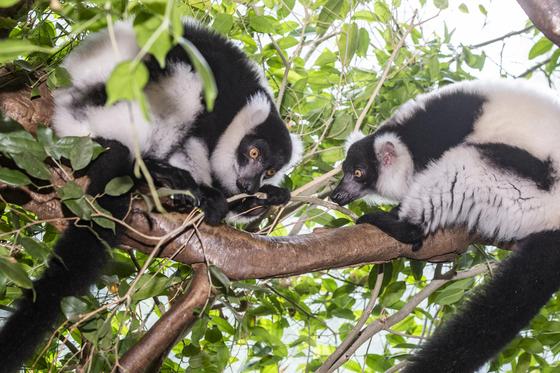 에버랜드기 7일부터 공개하는 흑백목도리 여우원숭이 알콩(좌) 달콩(우)[사진 에버랜드]