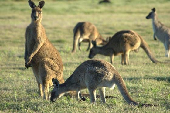 캥거루는 호주 대륙에서만 서식한다. 사진은 호주에서 촬영된 캥거루. [사진=위키피디아]