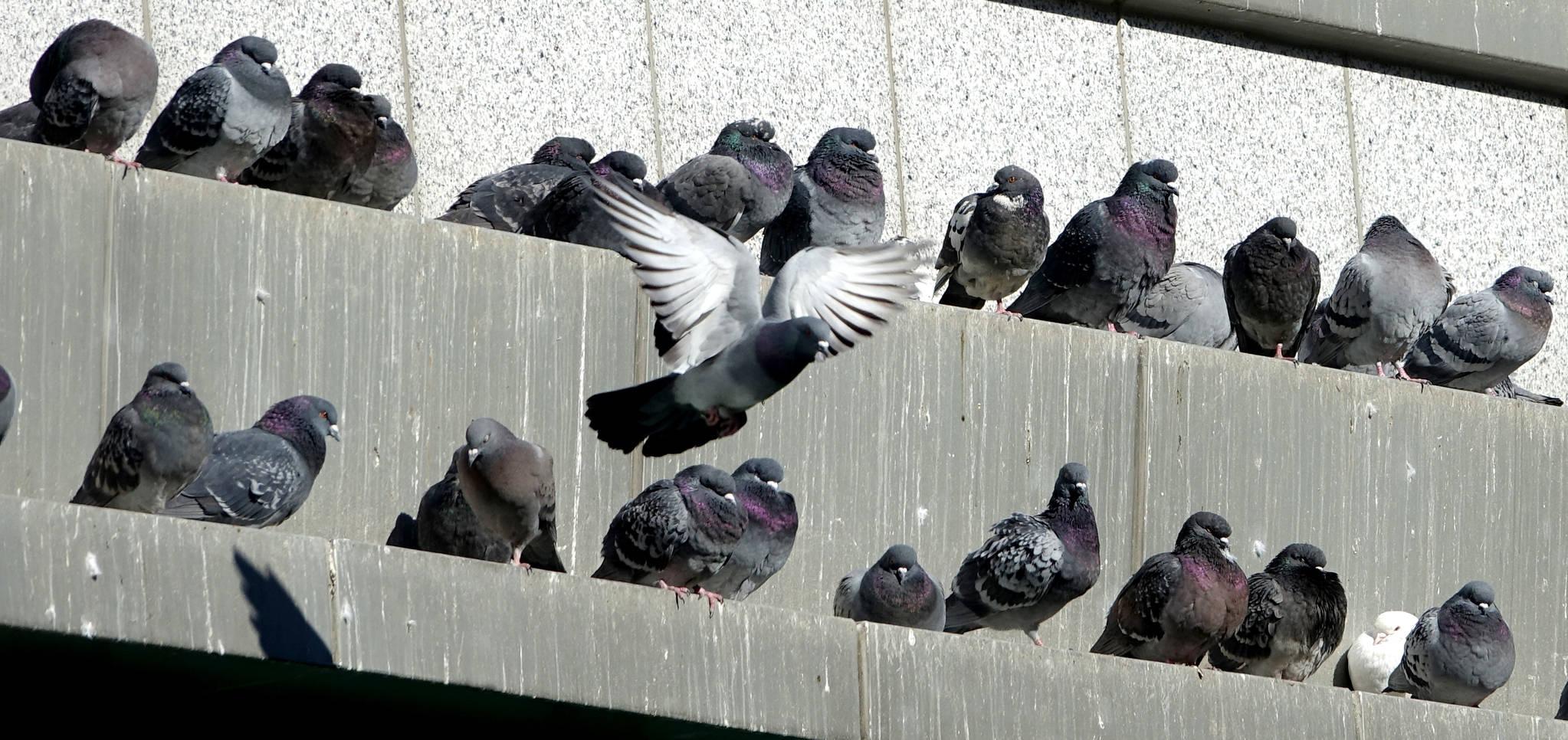 서울지역 최저 기온이 영하 11도까지 내려간 지난해 12월 27일 서울시 종로구 조계사 불교역사 박물관 건물 난간 양지바른 곳에 비둘기들이 나란히 앉아 햇볕을 쬐고 있다. [연합뉴스]