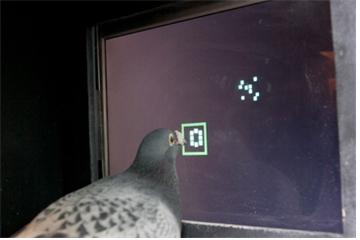 비둘기가 터치스크린에 나오는 숫자를 부리로 찍고 있다.