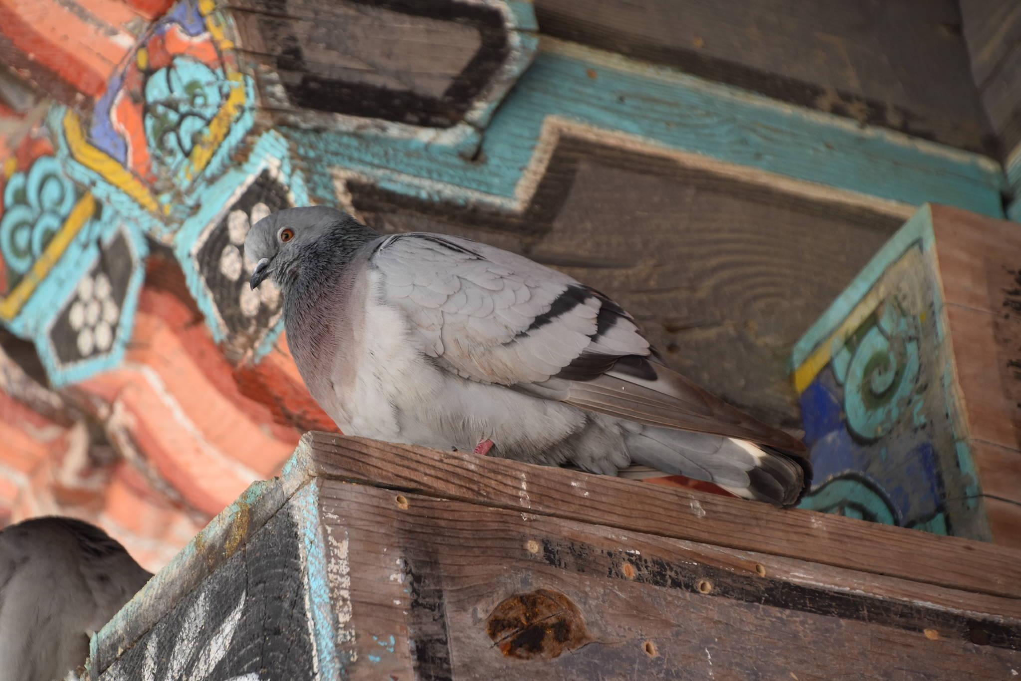 지리산에 사는 양비둘기 [사진 국립공원관리공단]